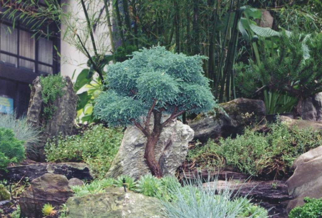 Image of: Decorative Dwarf Trees For Landscaping