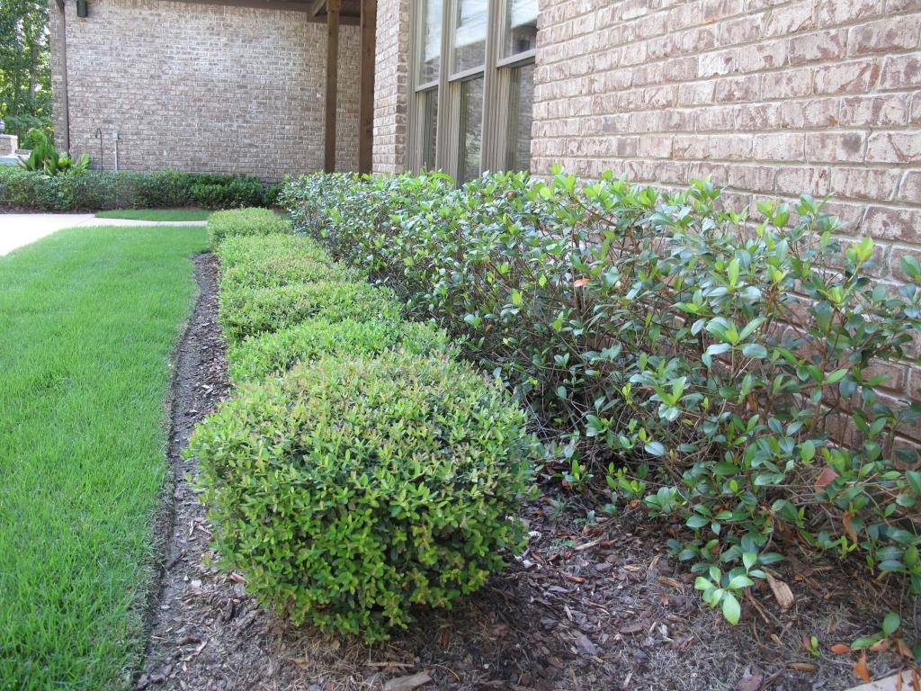 Image of: Bushes For Landscaping Green Year Round