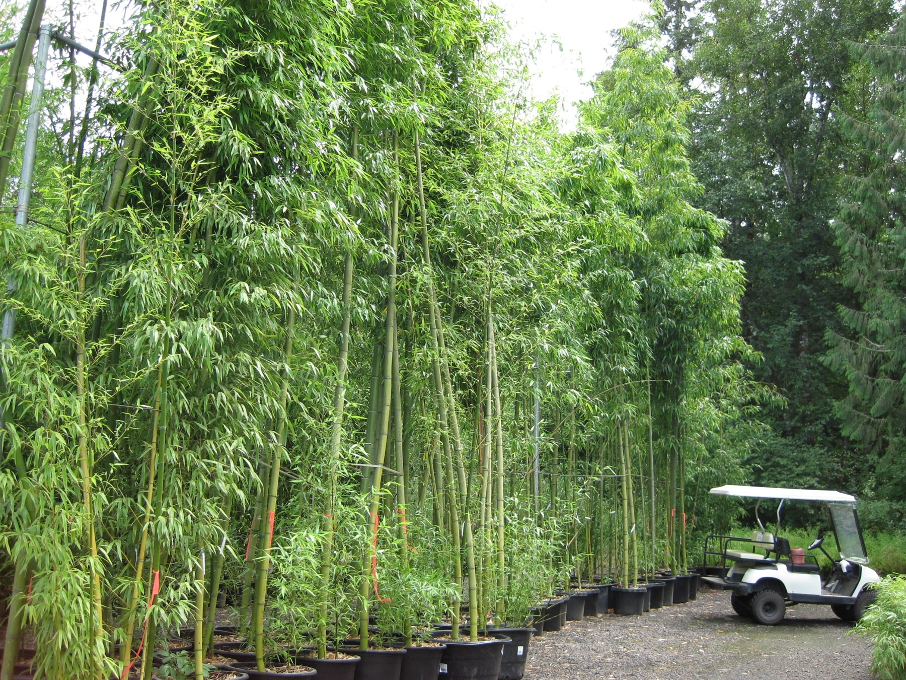 Image of: Bamboo Price List Intended For Bamboo Landscaping Bamboo Landscaping As A Plant