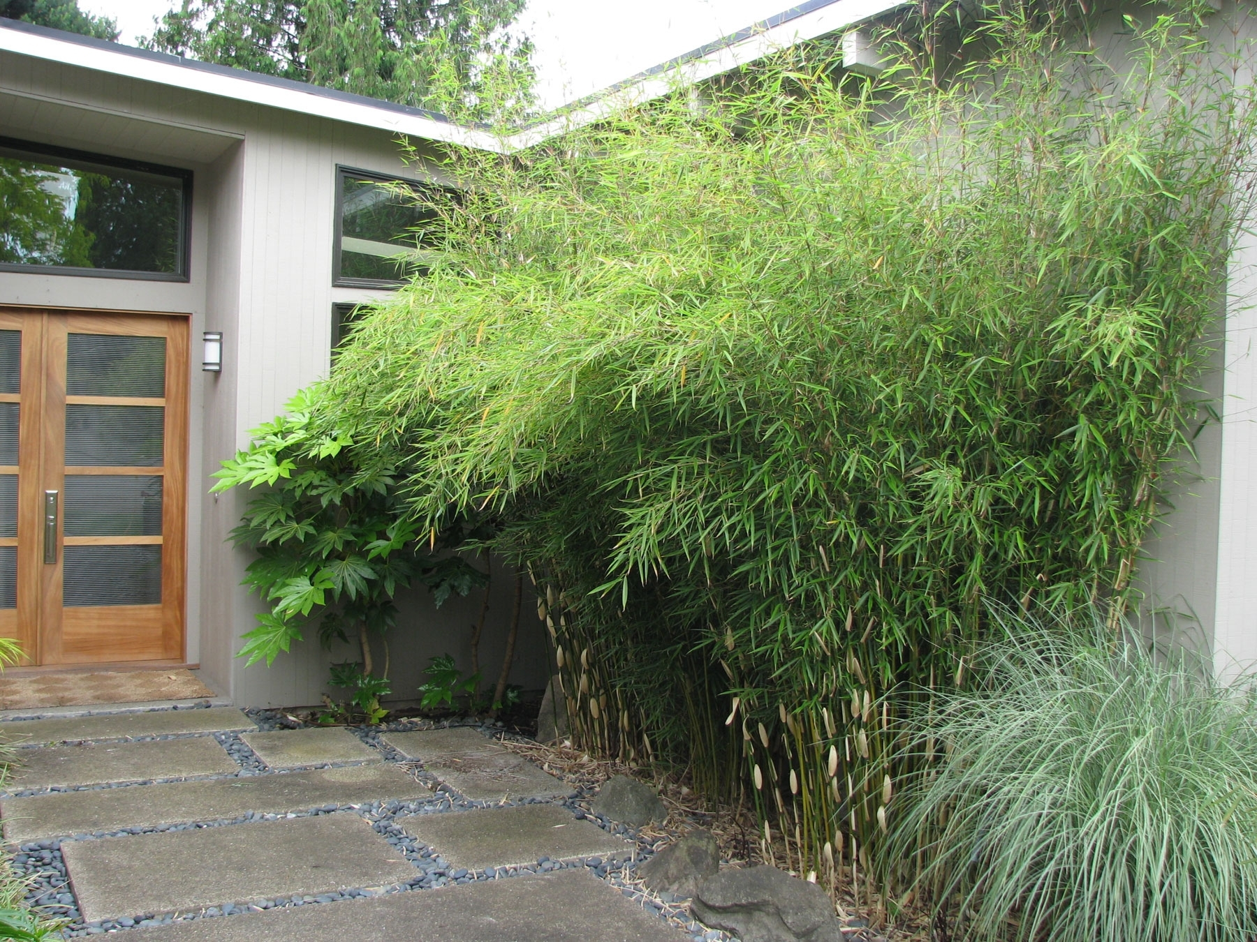 Image of: Fargesia Robusta Inside Bamboo Landscaping Bamboo Landscaping As A Plant