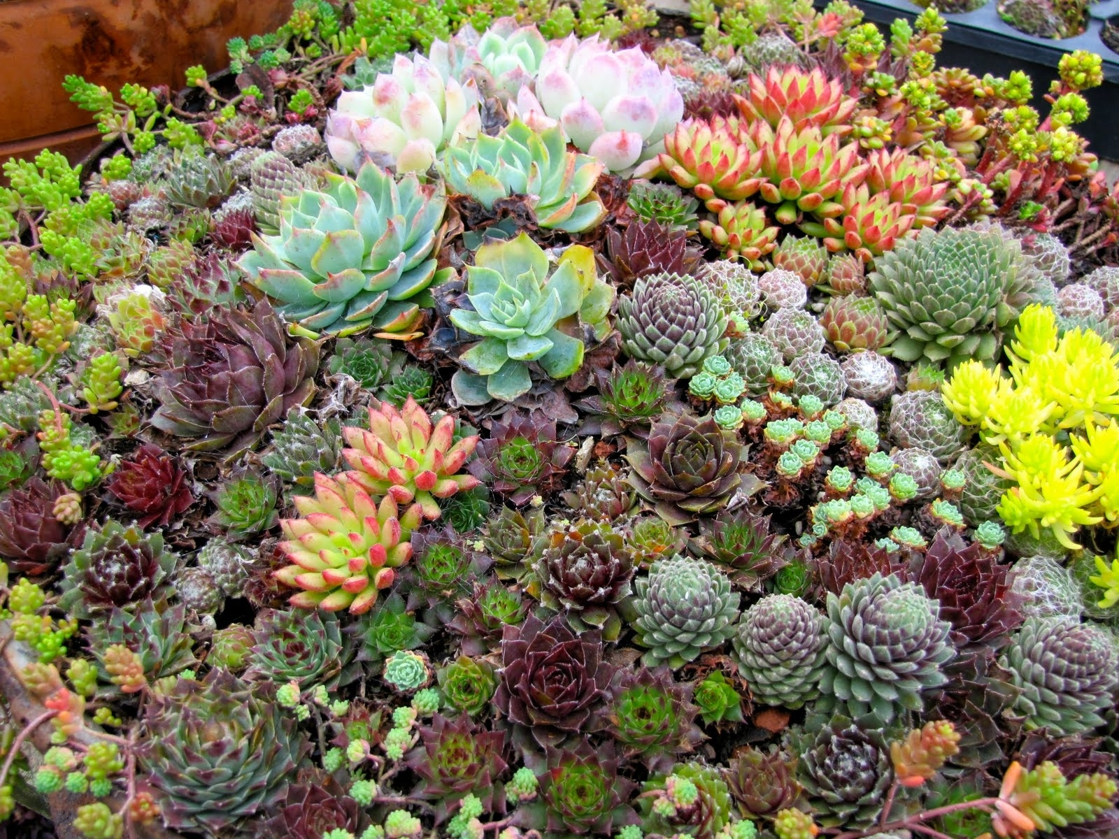 Image of: Inspirations Drought Resistant Yards Succulents Arizona With Regard To Landscaping With Succulents Landscaping With Succulents Plant Ideas