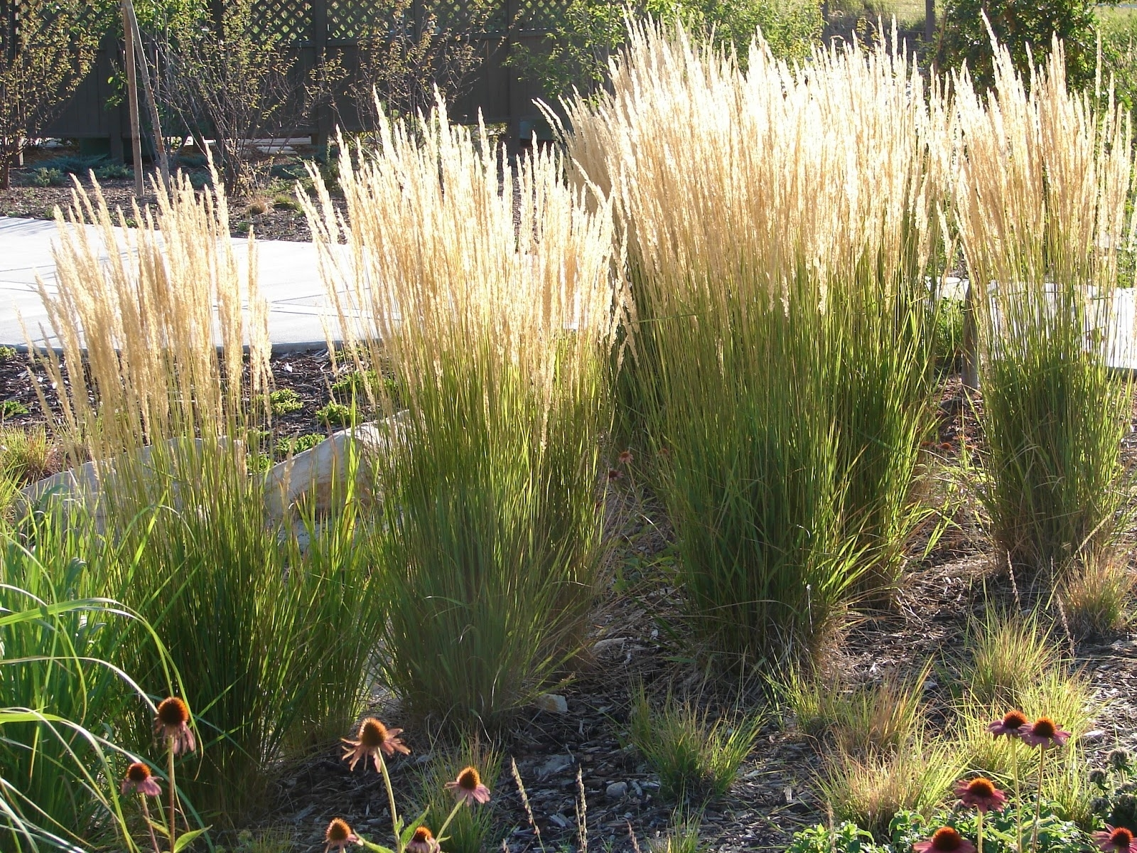 New Utah Gardener The Most Drought Tolerant Waterwise Ornamental For Landscaping Grasses Landscaping Grasses For Backyard