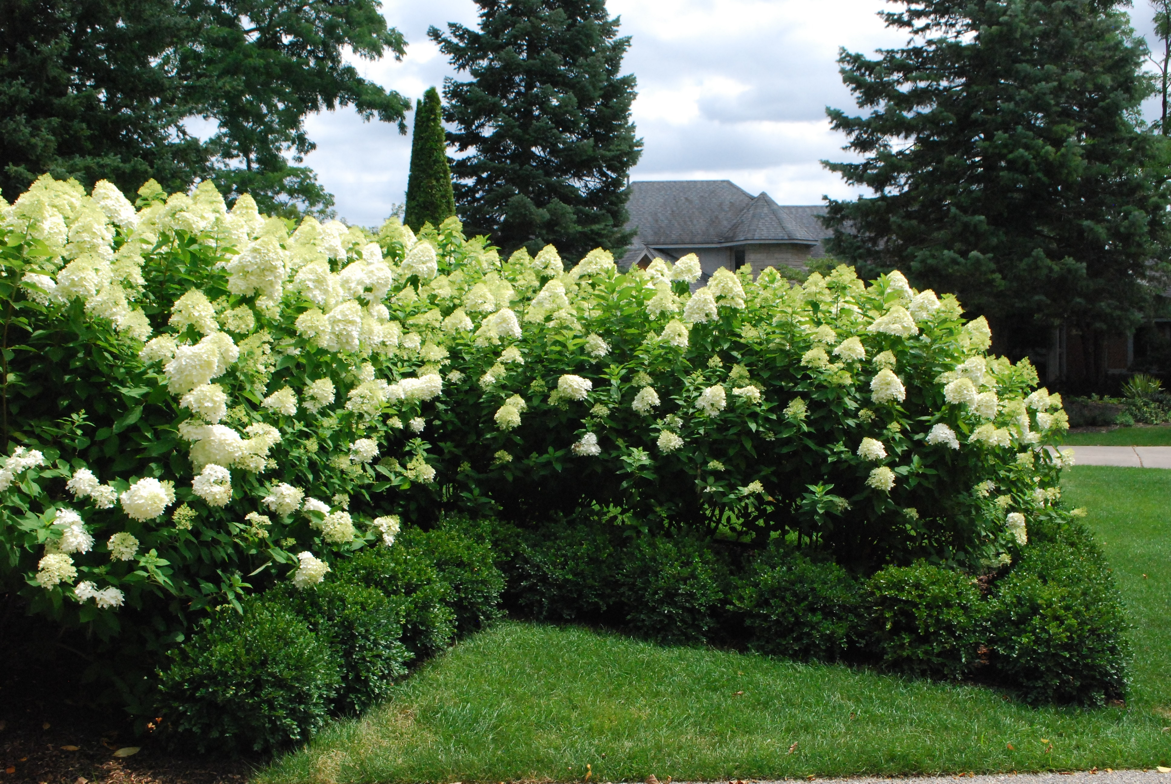 Image of: Annabelle Hydrangea Dirt Simple Within Landscaping With Hydrangeas Landscaping With Hydrangeas Ideas
