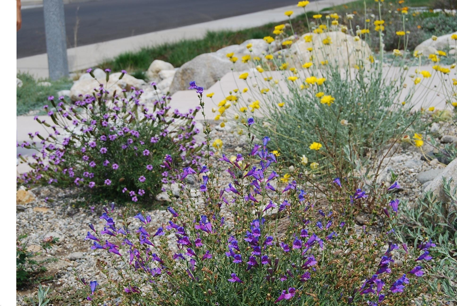 Image of: California Native Landscape Design With Nice Drought Tolerant Landscape Design