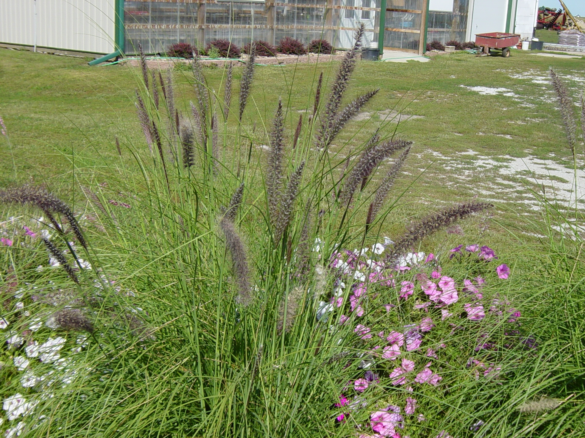 Image of: Fresh Free Landscaping With Lavender And Grasses 9246 For Grasses For Landscaping Special Ideas Grasses For Landscaping