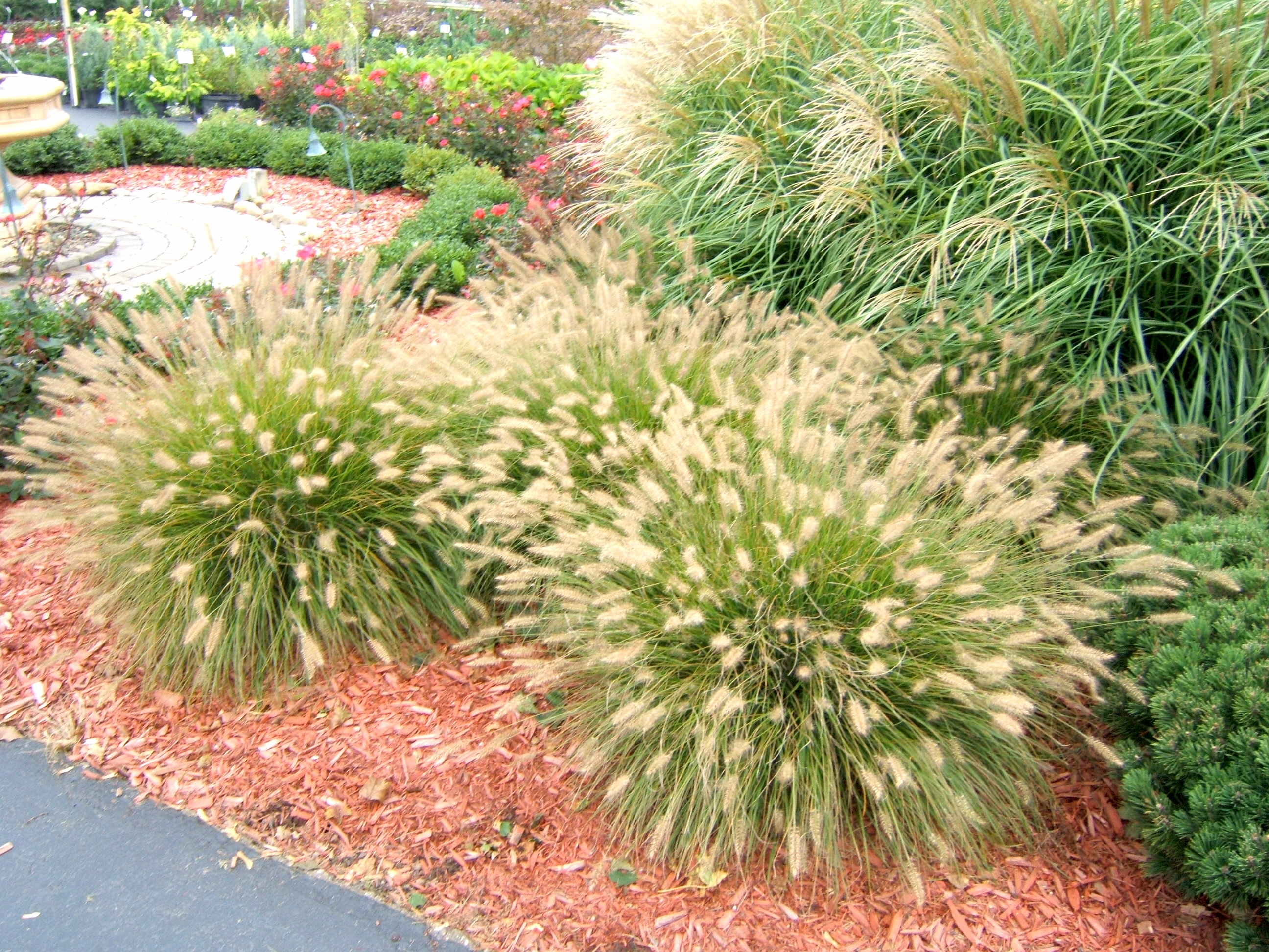Image of: Get It Growing Ornamental Grass Adds Beauty With Minimum Effort In Grasses For Landscaping Special Ideas Grasses For Landscaping