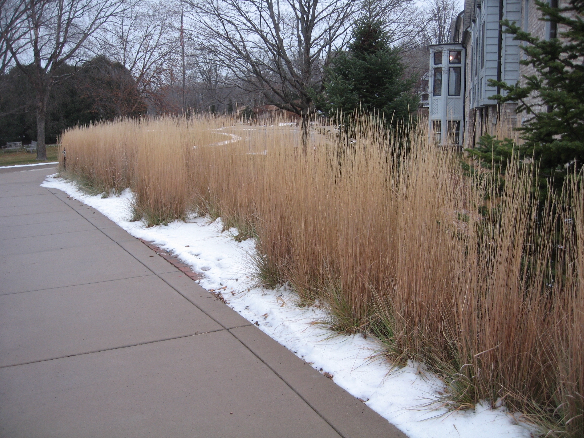 Image of: Grasstalk A Site About Ornamental And Native Grasses Page 15 Pertaining To Grasses For Landscaping Special Ideas Grasses For Landscaping
