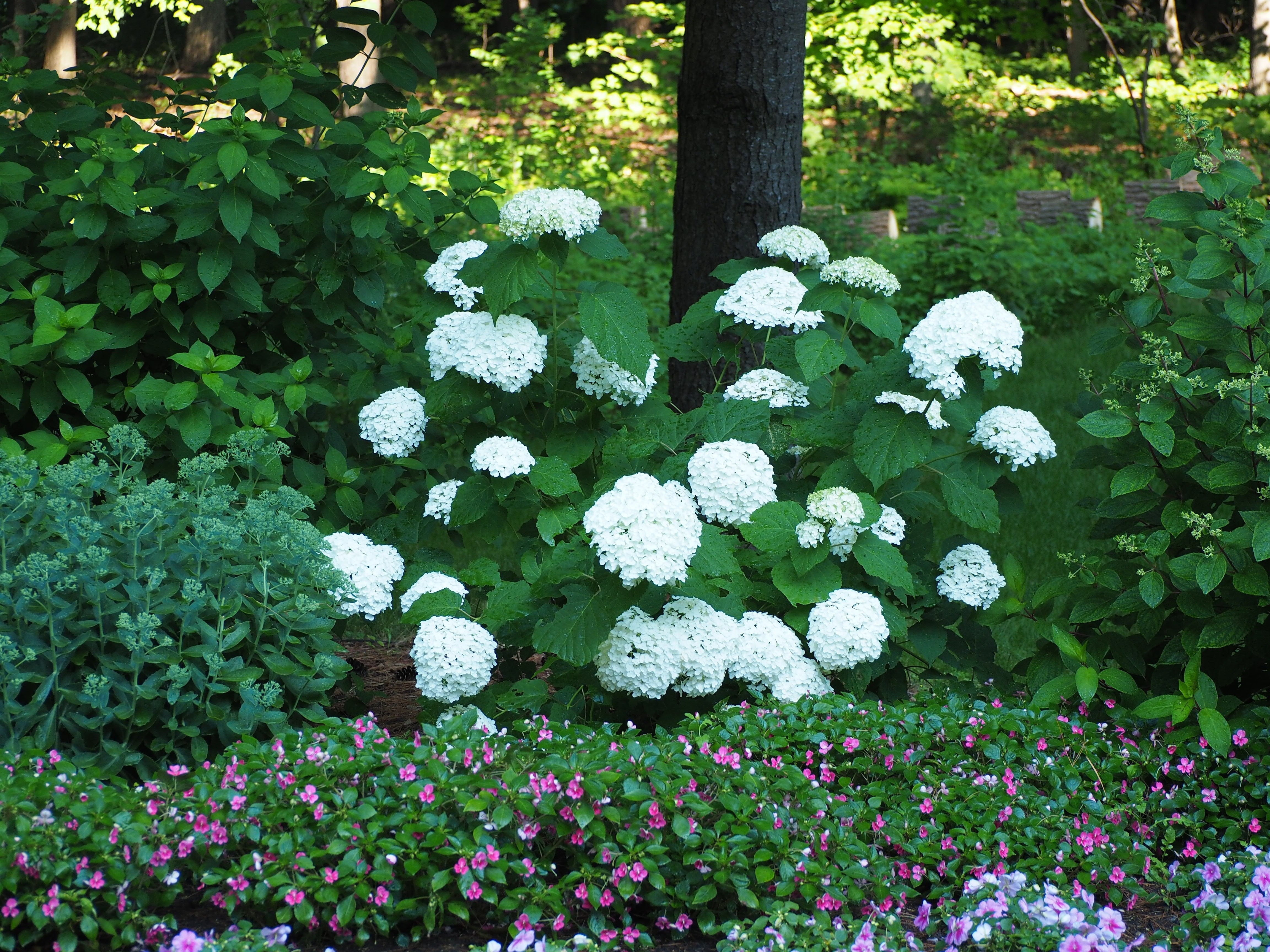 Image of: Hydrangea Archives Knechts Nurseries Landscaping Intended For Landscaping With Hydrangeas Landscaping With Hydrangeas Ideas