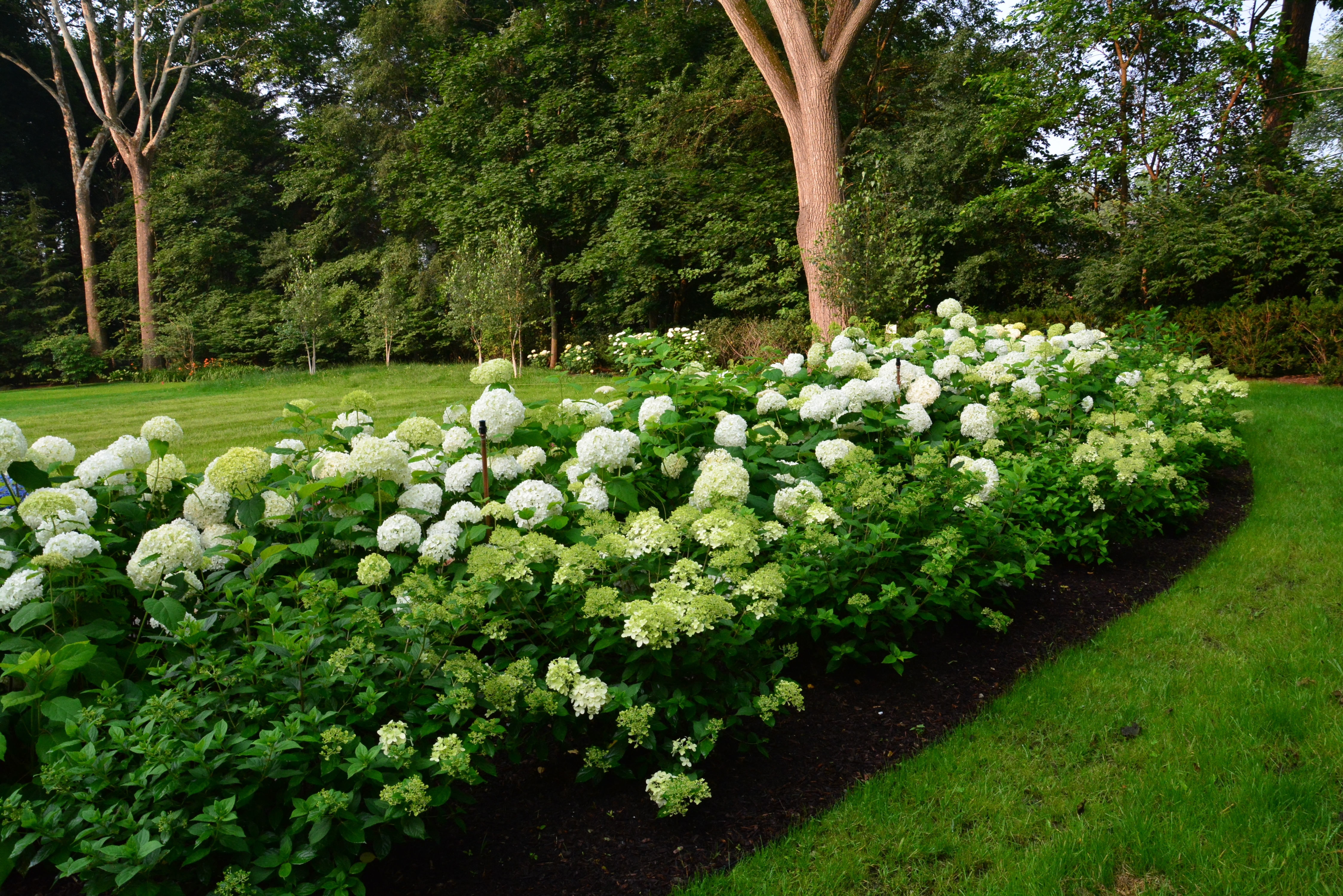 Image of: Hydrangeas Dirt Simple In Landscaping With Hydrangeas Landscaping With Hydrangeas Ideas