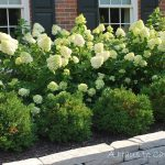 Limelight Hydrangea Hedge Google Search Backyard Pinterest For Landscaping With Hydrangeas Landscaping With Hydrangeas Ideas
