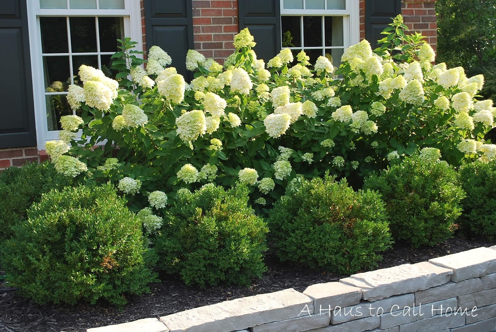 Image of: Limelight Hydrangea Hedge Google Search Backyard Pinterest For Landscaping With Hydrangeas Landscaping With Hydrangeas Ideas