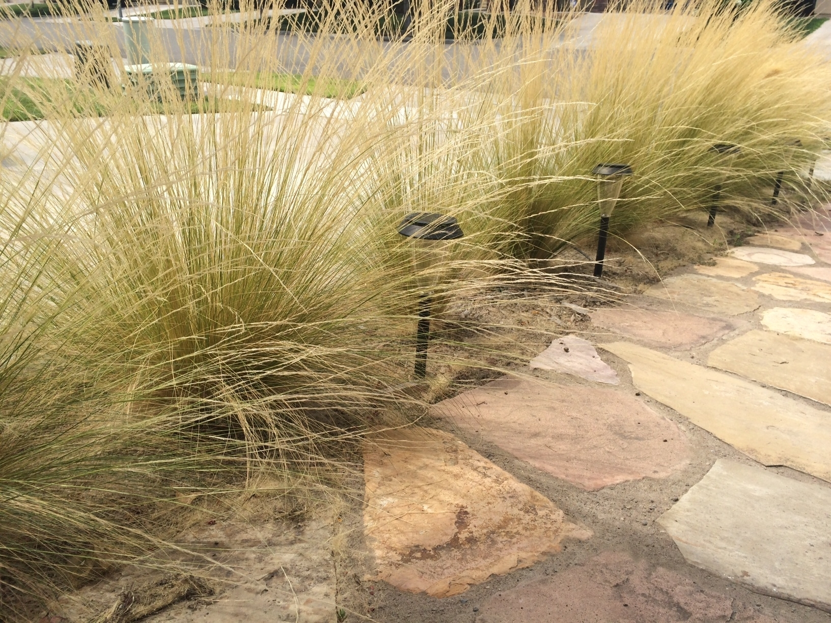 Image of: Mexican Feather Grass Invasive Beauty Can Be Deceiving Uc Regarding Grasses For Landscaping Special Ideas Grasses For Landscaping