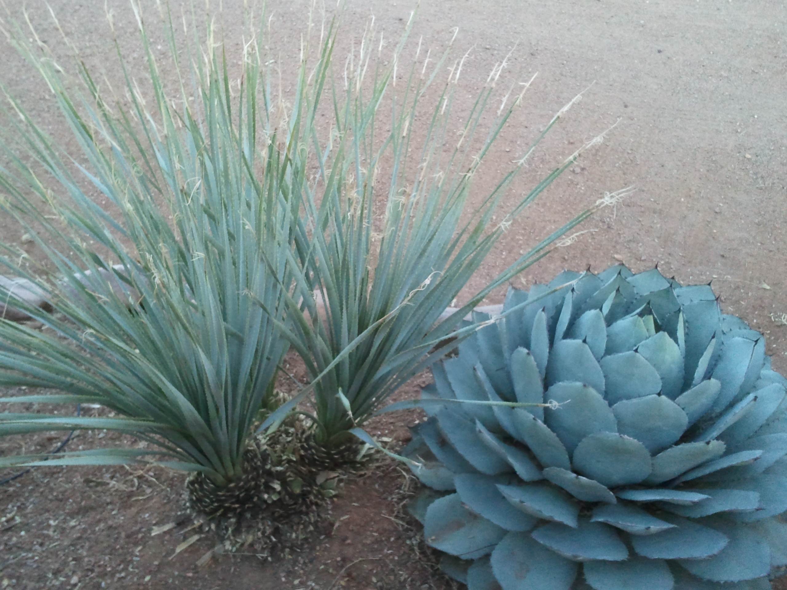 Image of: Simple Affordable Landscape Upgrades You Can Dramatically Boost In Desert Landscaping Plants Ideal Desert Landscaping Plants At Home